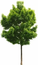 Young Tree Vector