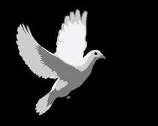 White Dove - Black background