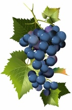 Fresh Grapes Vineyard Vector