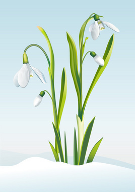 Snowdrop Flowers Vector Illustration